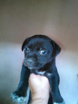 Mix-Bred LABRADOR RETRIEVER Female  Young  Puppy #A439489#  Animal Care Services (San Antonio) - click here to view larger pic