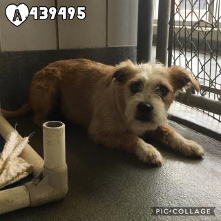 Mix-Bred TERRIER Female  Adult  Dog #A439495#  Animal Care Services (San Antonio) - click here to view larger pic