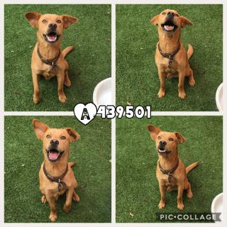 Mix-Bred SHEPHERD Male  Young  Puppy #A439501#  Animal Care Services (San Antonio) - click here to view larger pic