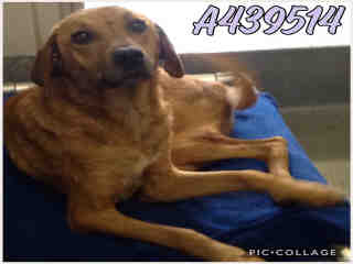 Mix-Bred SHEPHERD Female  Adult  Dog #A439514#  Animal Care Services (San Antonio) - click here to view larger pic