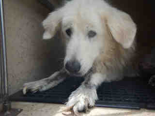 GREAT PYRENEES Male  Adult  Dog #A439515#  Animal Care Services (San Antonio) - click here to view larger pic