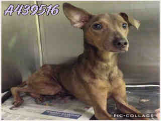 Mix-Bred ITALIAN GREYHOUND Male  Young  Puppy #A439516#  Animal Care Services (San Antonio) - click here to view larger pic