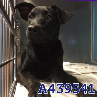 LABRADOR RETRIEVER Female  Young  Puppy #A439541#  Animal Care Services (San Antonio) - click here to view larger pic
