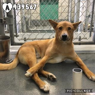Mix-Bred SHEPHERD Male  Young  Puppy #A439567#  Animal Care Services (San Antonio) - click here to view larger pic
