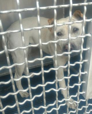 AMERICAN STAFFORDSHIRE TERRIER Female  Dog #A439568#  Animal Care Services (San Antonio) - click here to view larger pic