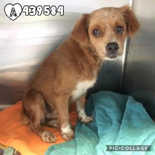 Mix-Bred COCKER SPANIEL Female  Young  Puppy #A439584#  Animal Care Services (San Antonio) - click here to view larger pic