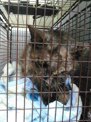 Mix-Bred DOMESTIC SHORTHAIR Female  Adult  Cat #A439585#  Animal Care Services (San Antonio) - click here to view larger pic