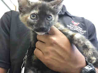 Mix-Bred DOMESTIC SHORTHAIR Female  Young  Kitten #A439601#  Animal Care Services (San Antonio) - click here to view larger pic