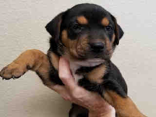 Mix-Bred ROTTWEILER Female  Young  Puppy #A439604#  Animal Care Services (San Antonio) - click here to view larger pic