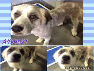 ST BERNARD - ROUGH COATED Male  Young  Puppy #A439621#  Animal Care Services (San Antonio) - click here to view larger pic