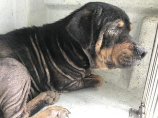 ROTTWEILER Female  Adult  Dog #A439624#  Animal Care Services (San Antonio) - click here to view larger pic