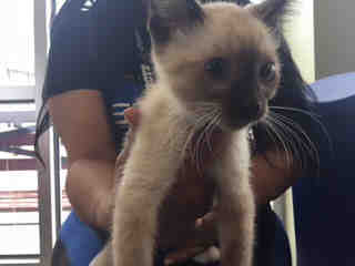 Mix-Bred DOMESTIC SHORTHAIR Male  Young  Kitten #A439629#  Animal Care Services (San Antonio) - click here to view larger pic
