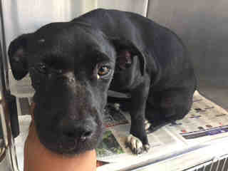 Mix-Bred LABRADOR RETRIEVER Female  Young  Puppy #A439635#  Animal Care Services (San Antonio) - click here to view larger pic