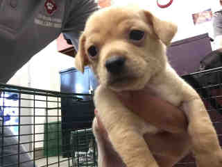 CHIHUAHUA - SMOOTH COATED Male  Young  Puppy #A439664#  Animal Care Services (San Antonio) - click here to view larger pic