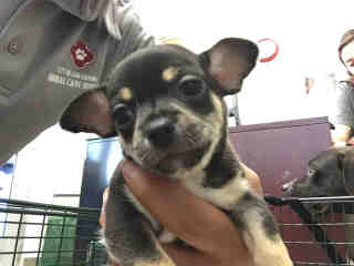 CHIHUAHUA - SMOOTH COATED Male  Young  Puppy #A439665#  Animal Care Services (San Antonio) - click here to view larger pic