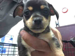 CHIHUAHUA - SMOOTH COATED Female  Young  Puppy #A439666#  Animal Care Services (San Antonio) - click here to view larger pic