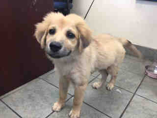 Mix-Bred SHEPHERD Female  Young  Puppy #A439698#  Animal Care Services (San Antonio) - click here to view larger pic