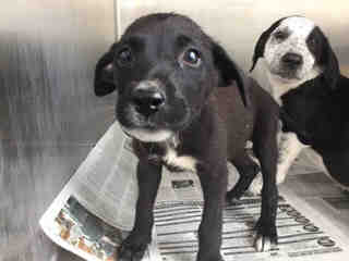 Mix-Bred AUSTRALIAN CATTLE DOG Male  Young  Puppy #A439706#  Animal Care Services (San Antonio) - click here to view larger pic