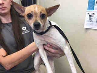Mix-Bred RAT TERRIER Female  Young  Puppy #A439720#  Animal Care Services (San Antonio) - click here to view larger pic