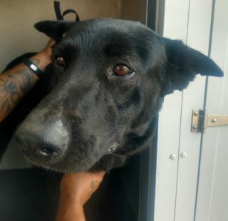 Mix-Bred LABRADOR RETRIEVER Female  Adult  Dog #A439744#  Animal Care Services (San Antonio) - click here to view larger pic
