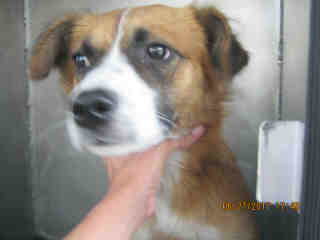 Mix-Bred AUSTRALIAN SHEPHERD Female  Adult  Dog #A439748#  Animal Care Services (San Antonio) - click here to view larger pic