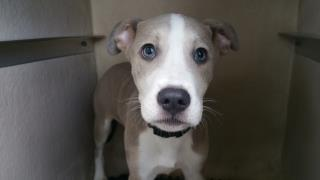 AMERICAN STAFFORDSHIRE TERRIER Male  Young  Puppy #A439752#  Animal Care Services (San Antonio) - click here to view larger pic