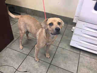 Mix-Bred BLACK MOUTH CUR Female  Young  Puppy #A439754#  Animal Care Services (San Antonio) - click here to view larger pic