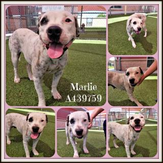 Mix-Bred AMERICAN STAFFORDSHIRE TERRIER Female  Adult  Dog #A439759#  Animal Care Services (San Antonio) - click here to view larger pic