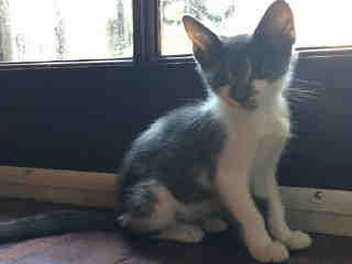 Mix-Bred DOMESTIC SHORTHAIR Male  Young  Kitten #A440154#  Animal Care Services (San Antonio) - click here to view larger pic