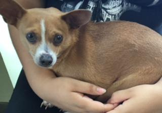 Mix-Bred CHIHUAHUA - SMOOTH COATED Female  Adult  Dog #A440499#  Animal Care Services (San Antonio) - click here to view larger pic