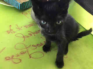 Mix-Bred DOMESTIC SHORTHAIR Male  Young  Kitten #A440531#  Animal Care Services (San Antonio) - click here to view larger pic