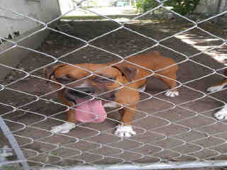 Mix-Bred BOXER Male  Adult  Dog #A440678#  Animal Care Services (San Antonio) - click here to view larger pic