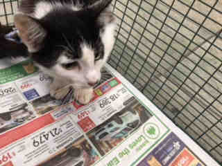 Mix-Bred DOMESTIC SHORTHAIR Female  Young  Kitten #A440800#  Animal Care Services (San Antonio) - click here to view larger pic