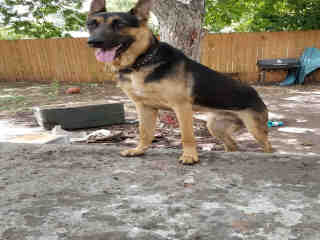 Mix-Bred GERMAN SHEPHERD DOG Male  Young  Puppy #A440846#  Animal Care Services (San Antonio) - click here to view larger pic