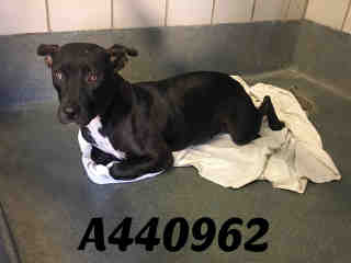 Mix-Bred AMERICAN STAFFORDSHIRE TERRIER Female  Young  Puppy #A440962#  Animal Care Services (San Antonio) - click here to view larger pic