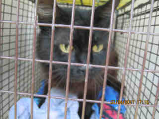 Mix-Bred DOMESTIC MEDIUMHAIR Female  Adult  Cat #A440970#  Animal Care Services (San Antonio) - click here to view larger pic