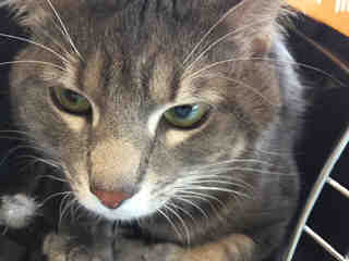Mix-Bred DOMESTIC SHORTHAIR Male  Adult  Cat #A441143#  Animal Care Services (San Antonio) - click here to view larger pic