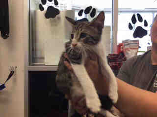 Mix-Bred DOMESTIC SHORTHAIR Male  Young  Kitten #A441188#  Animal Care Services (San Antonio) - click here to view larger pic