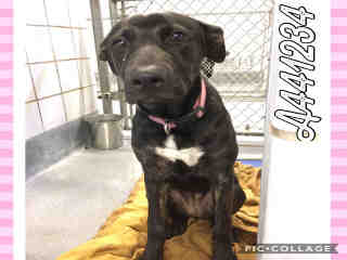 Mix-Bred LABRADOR RETRIEVER Female  Young  Puppy #A441234#  Animal Care Services (San Antonio) - click here to view larger pic
