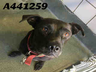 Mix-Bred AMERICAN STAFFORDSHIRE TERRIER Female  Adult  Dog #A441259#  Animal Care Services (San Antonio) - click here to view larger pic