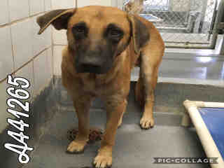 GERMAN SHEPHERD DOG Male  Adult  Dog #A441265#  Animal Care Services (San Antonio) - click here to view larger pic