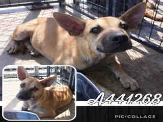 BLACK MOUTH CUR Female  Young  Puppy #A441268#  Animal Care Services (San Antonio) - click here to view larger pic