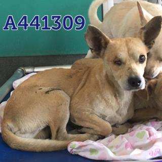CHIHUAHUA - SMOOTH COATED Male  Adult  Dog #A441309#  Animal Care Services (San Antonio) - click here to view larger pic