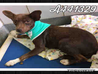 Mix-Bred CHIHUAHUA - SMOOTH COATED Male  Adult  Dog #A441329#  Animal Care Services (San Antonio) - click here to view larger pic