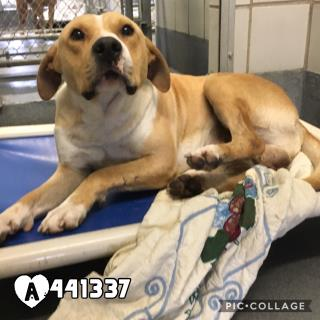 Mix-Bred AMERICAN STAFFORDSHIRE TERRIER Male  Adult  Dog #A441337#  Animal Care Services (San Antonio) - click here to view larger pic