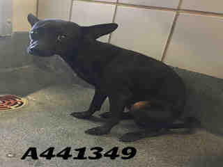 CHIHUAHUA - SMOOTH COATED Male  Adult  Dog #A441349#  Animal Care Services (San Antonio) - click here to view larger pic