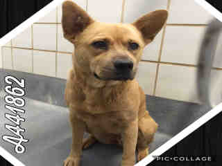 Mix-Bred CHOW CHOW Female  Adult  Dog #A441862#  Animal Care Services (San Antonio) - click here to view larger pic