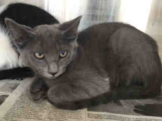Mix-Bred DOMESTIC SHORTHAIR Female  Young  Kitten #A442018#  Animal Care Services (San Antonio) - click here to view larger pic