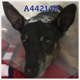 Mix-Bred MINIATURE PINSCHER Male  Adult  Dog #A442140#  Animal Care Services (San Antonio) - click here to view larger pic