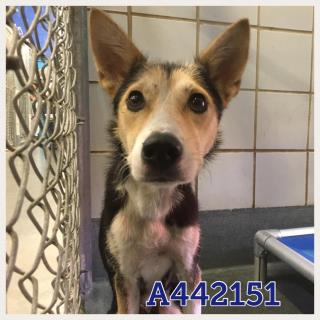 SHEPHERD Female  Young  Puppy #A442151#  Animal Care Services (San Antonio) - click here to view larger pic